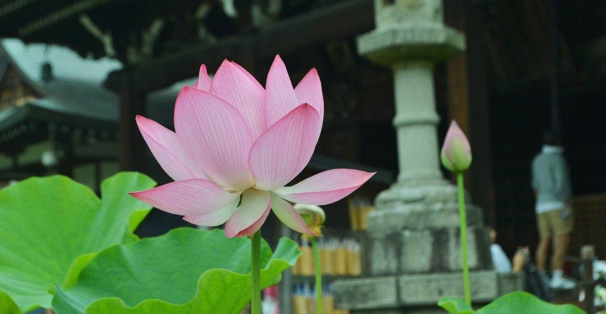 三室戸寺 蓮 五分咲き 2017年7月9日 撮影:MKタクシー