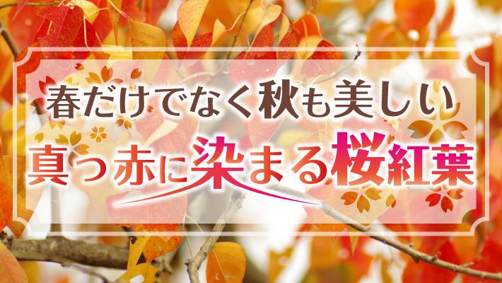 春だけでなく秋も美しい 真っ赤に染まる桜紅葉