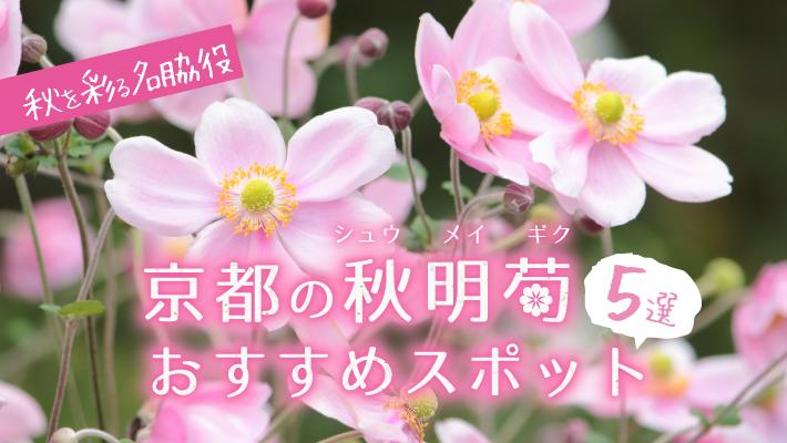 秋を彩る名脇役、京都のシュウメイギクおすすめスポット5選