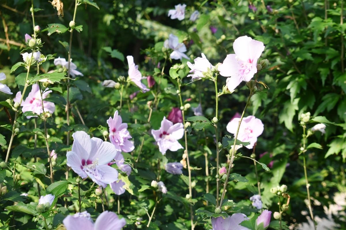 京都府立植物園 ムクゲ 見頃 2020年8月5日 撮影:MKタクシー