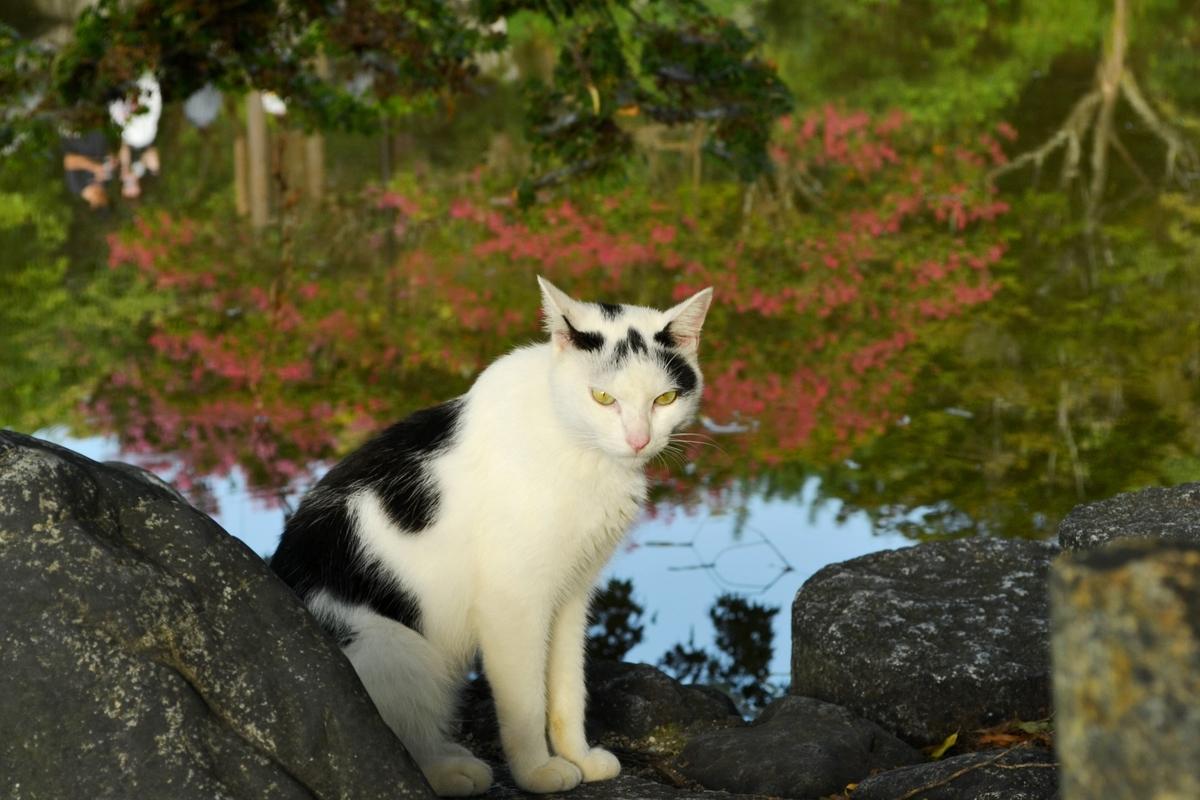 円山公園 猫とサルスベリ 見頃 2017年8月27日 撮影:MKタクシー