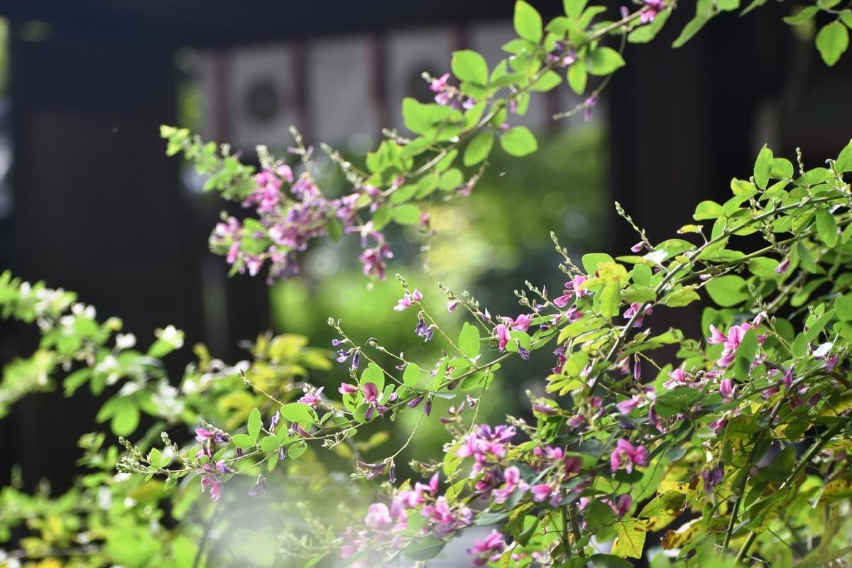 梨木神社 萩 咲き始め 2018年9月20日 撮影:MKタクシー