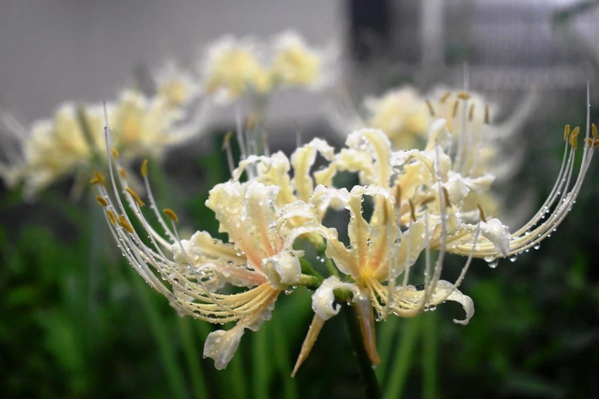 平野神社 白花彼岸花 咲き始め 2018年9月15日 撮影:MKタクシー