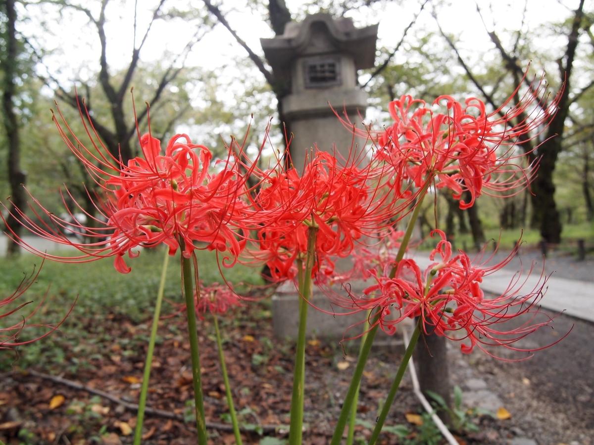 平野神社 彼岸花 見頃 2016年9月25日 撮影:MKタクシー