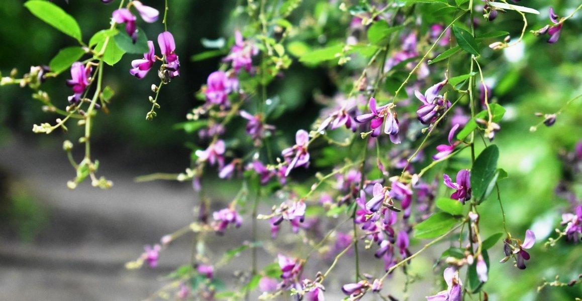 京都府立植物園 萩 三分咲き 2018年9月15日 撮影:MKタクシー