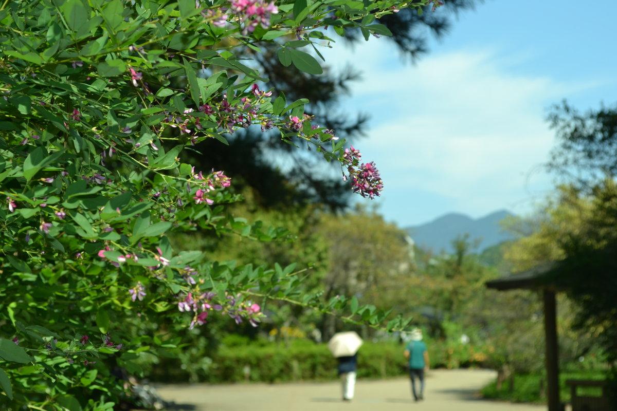 京都府立植物園 萩 三分咲き 2017年9月25日 撮影:MKタクシー