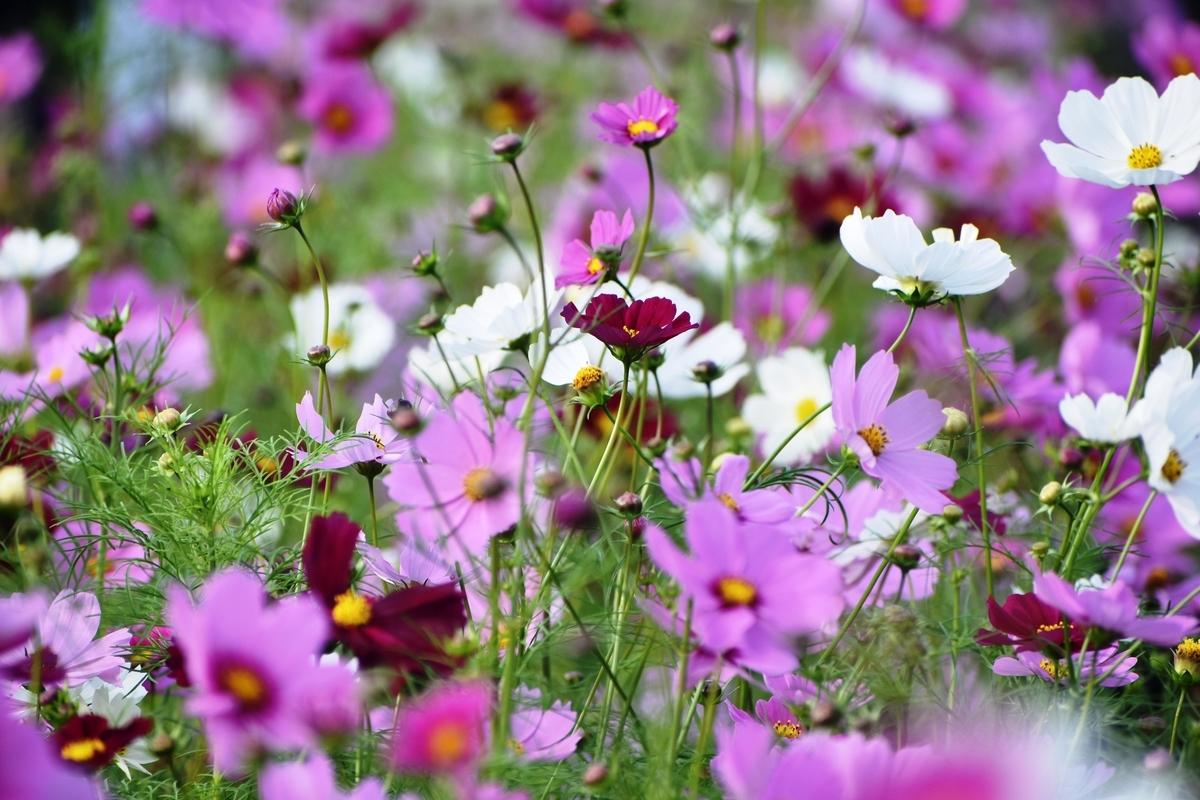 京都府立植物園 五分咲き 見頃 2019年10月6日 撮影:MKタクシー