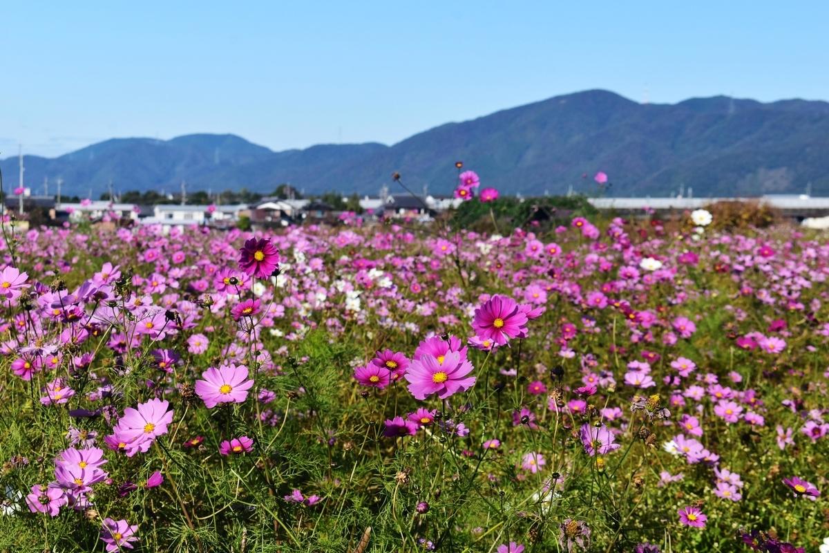 亀岡夢コスモス園 散り始め 2019年11月9日 撮影:MKタクシー