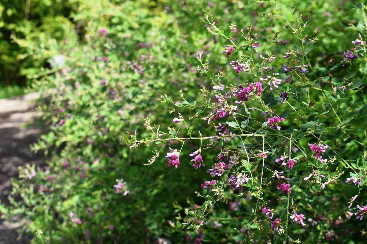 宇治市植物公園 萩 咲きはじめ 2020年9月12日 撮影:MKタクシー