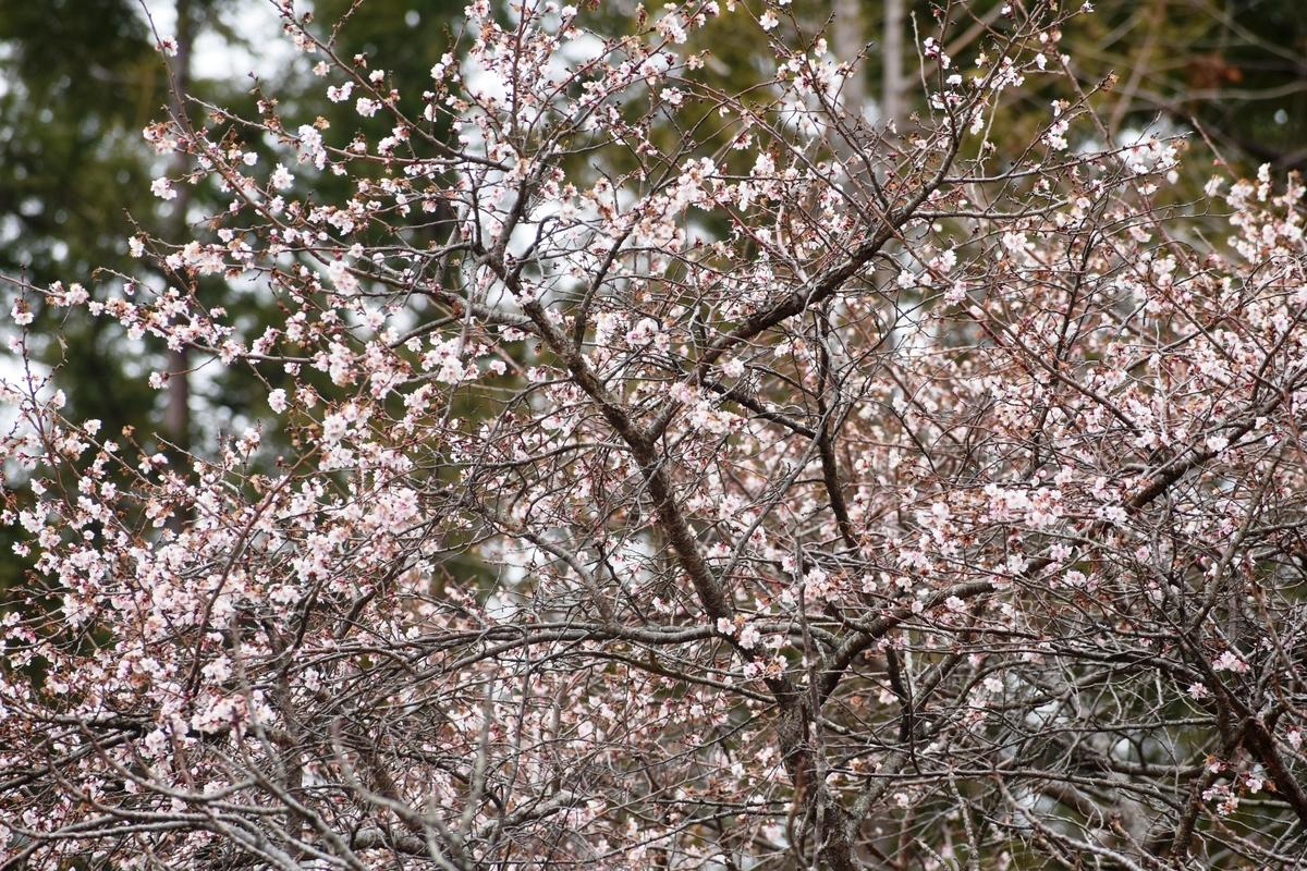 十月桜 宇治市植物公園 2019年2月9日 撮影:MKタクシー