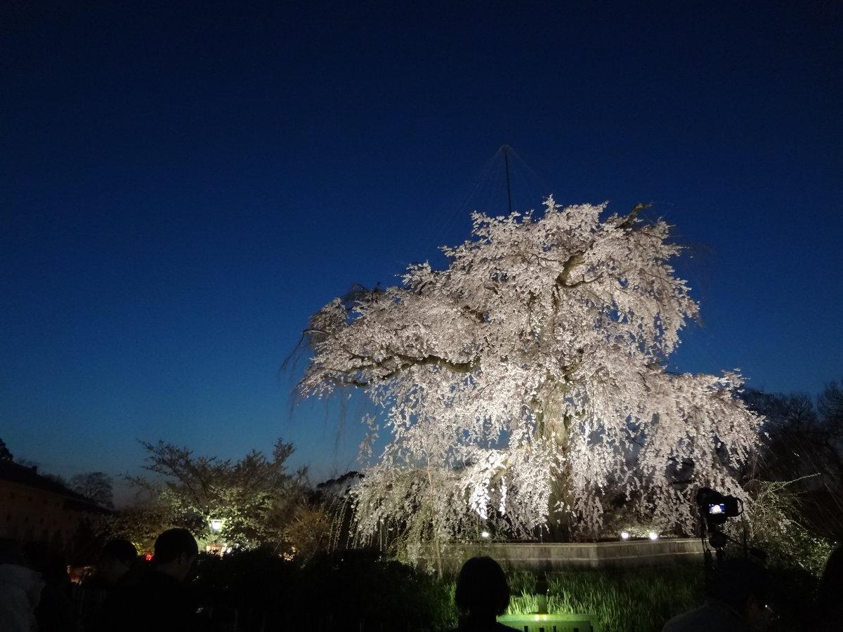 エドヒガンの祇園枝垂桜 円山公園 実光院 2014年4月1日 撮影:MKタクシー