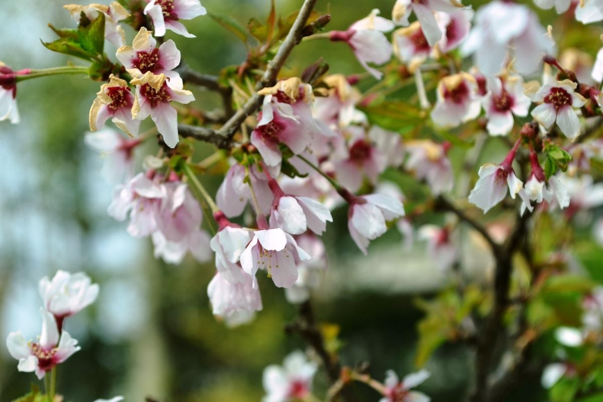 マメザクラ 京都府立植物園 2018年4月1日 撮影:MKタクシー