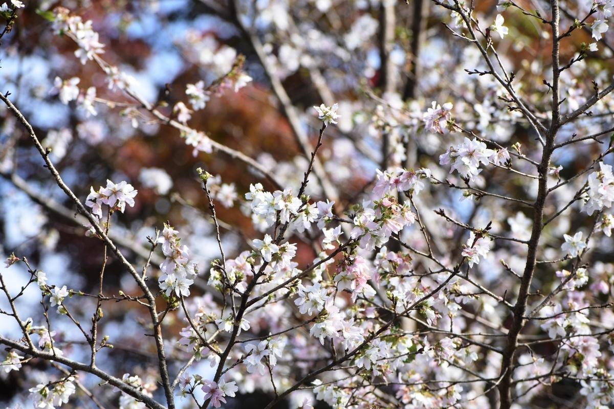 四季桜 京都府立植物園 2019年11月19日 撮影:MKタクシー