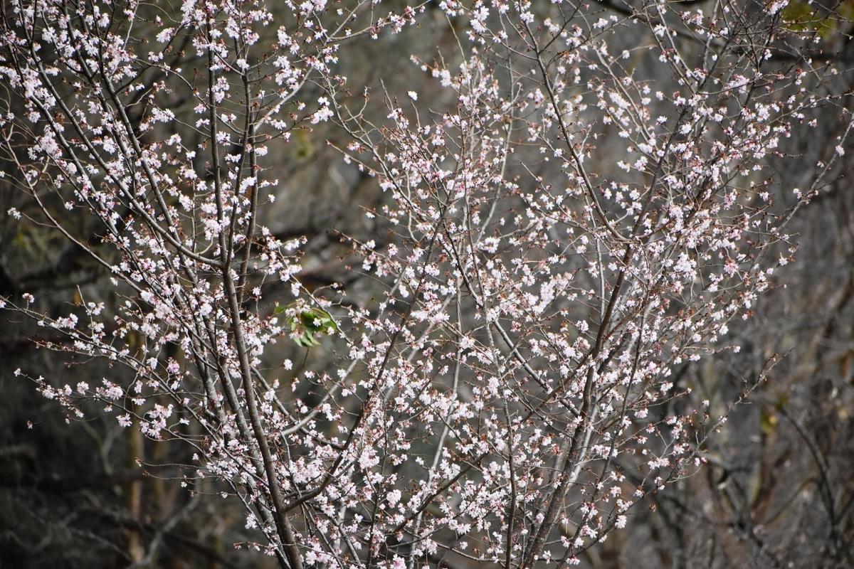 十月桜 京都御苑 2020年2月15日 撮影:MKタクシー