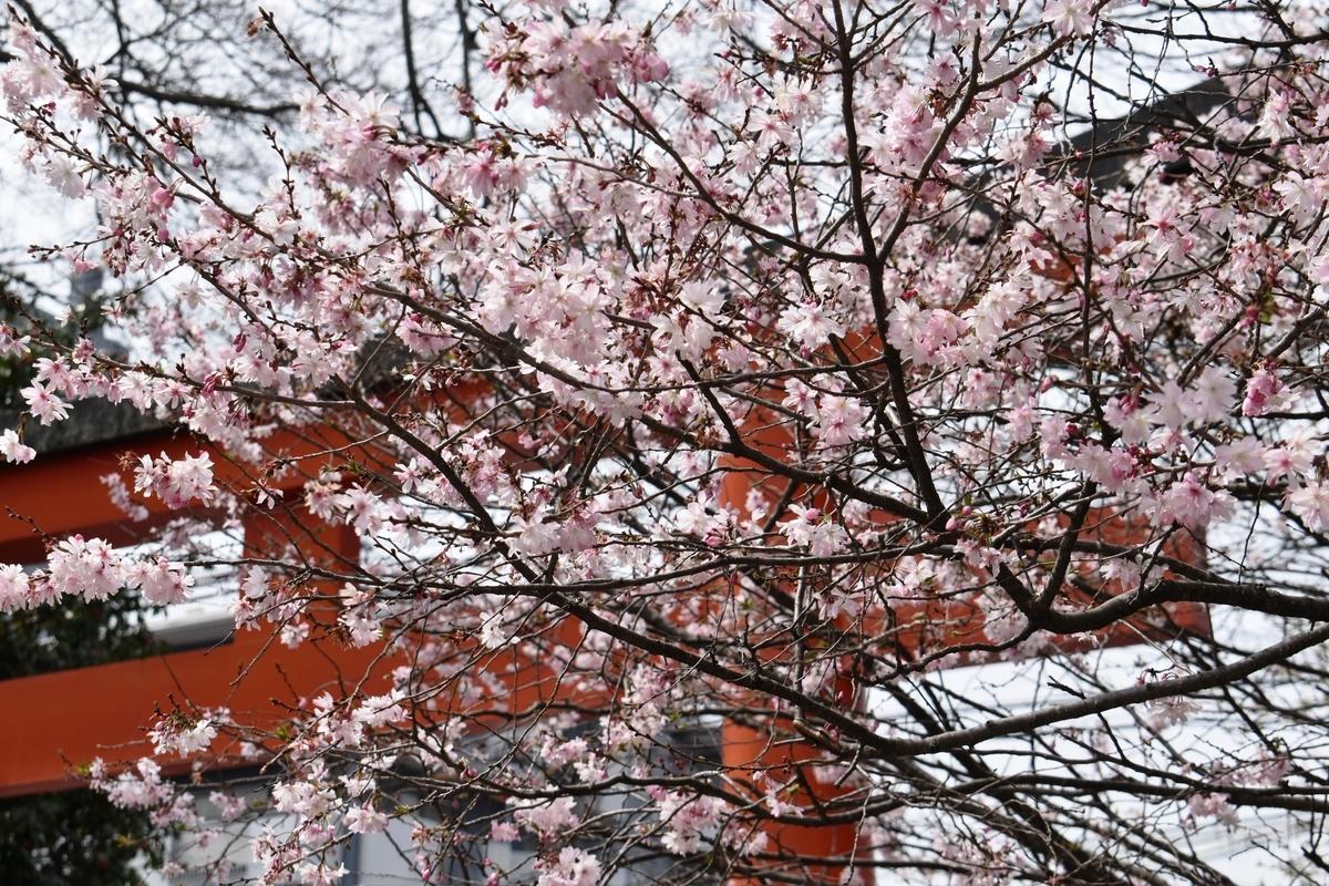 十月桜 平野神社(猿田彦社前) 2020年3月22日 撮影:MKタクシー