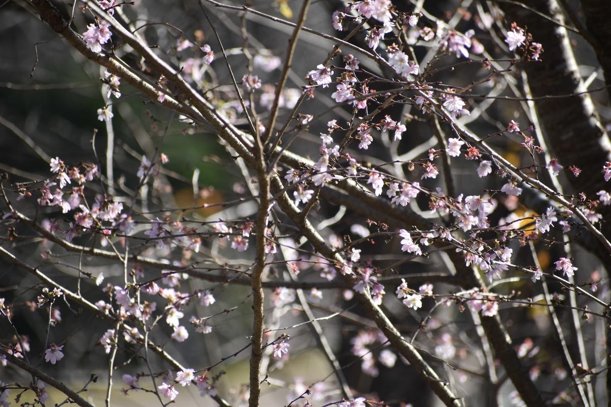 十月桜 京都府立植物園 2018年12月8日 撮影:MKタクシー
