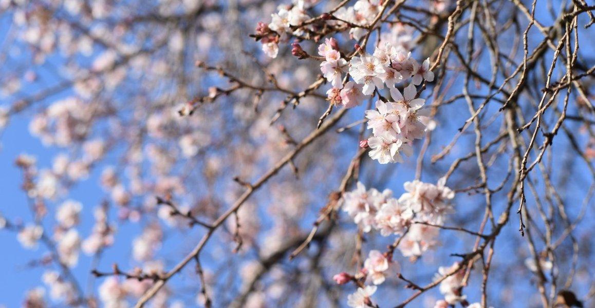 十月桜 宇治市植物公園 2018年2月23日 撮影:MKタクシー