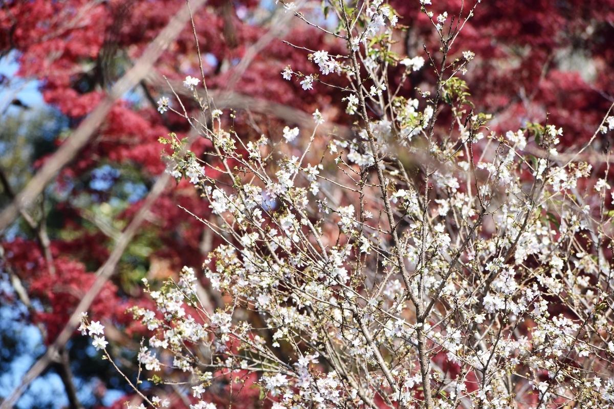 冬桜 京都府立植物園 2019年11月19日 撮影:MKタクシー