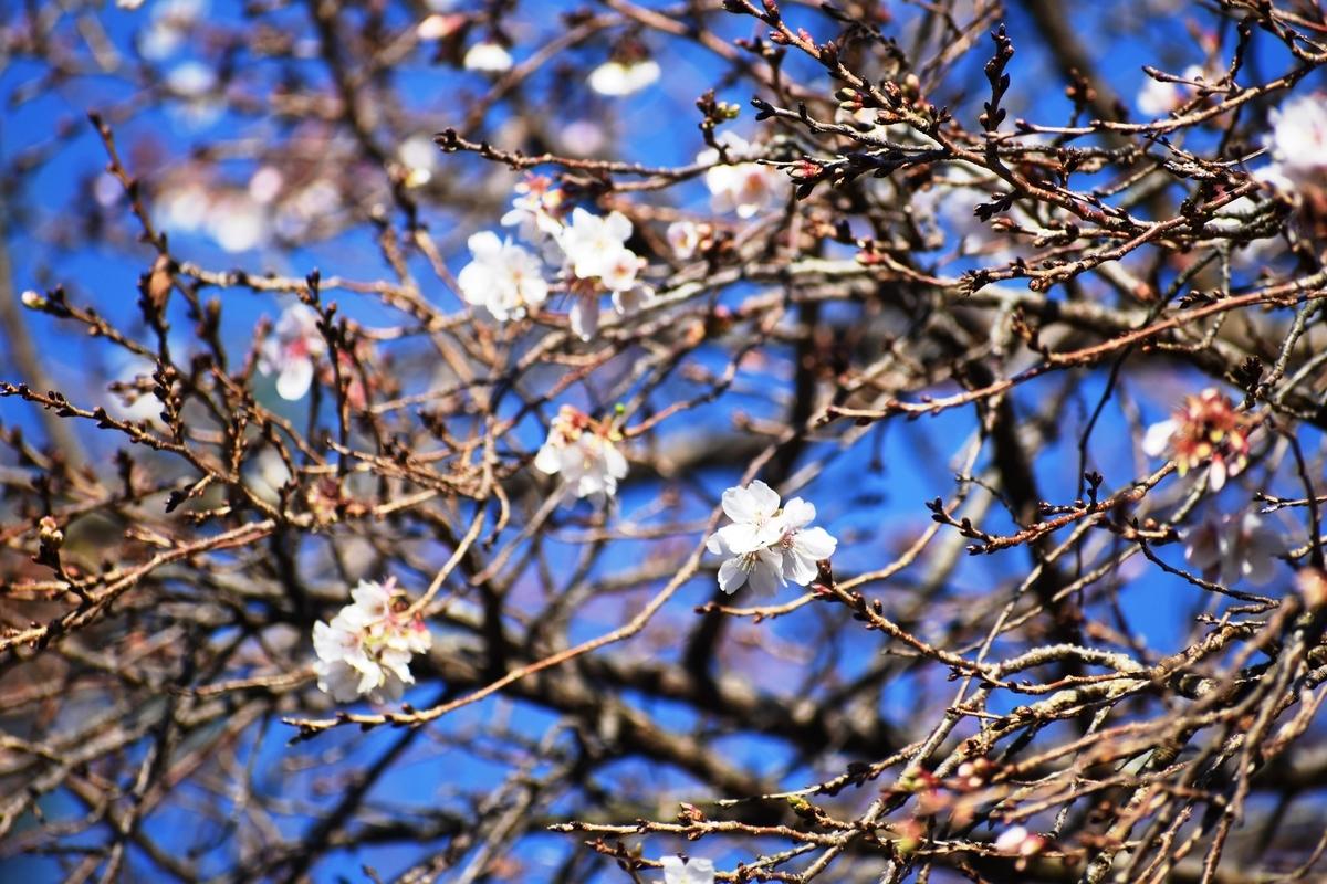 四季桜 宇治市植物公園 2018年11月24日 撮影:MKタクシー