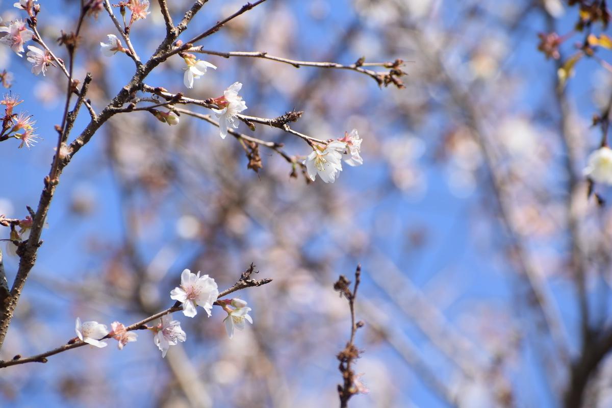 四季桜 京都府立植物園 2019年12月16日 撮影:MKタクシー