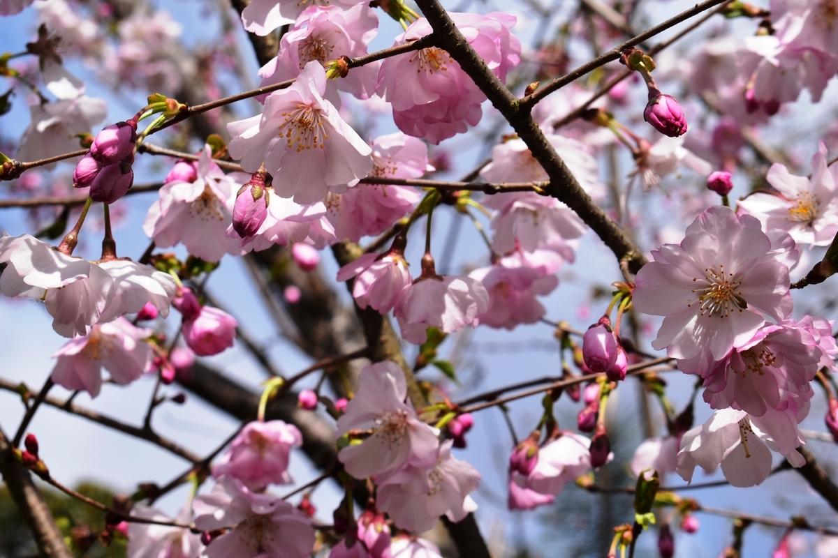 アーコレード 京都振津植物園 2020年3月29日 撮影:MKタクシー