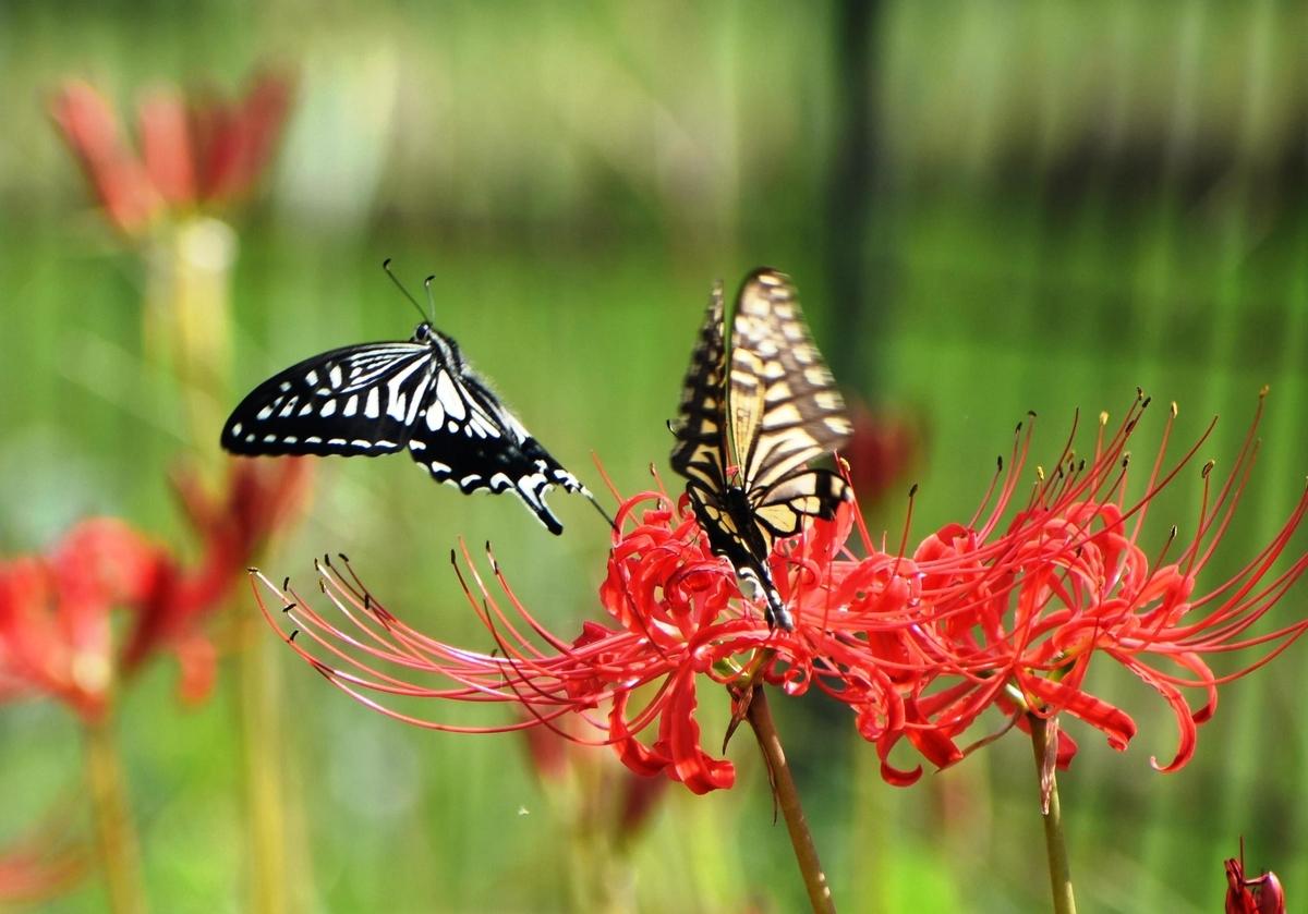 大原 彼岸花とアゲハチョウ 咲きはじめ 撮影:MKタクシー