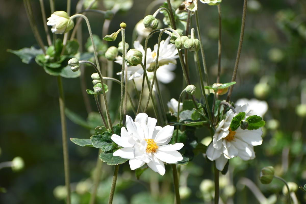 京都府立植物園 秋明菊 咲きはじめ 2020年9月19日 撮影:MKタクシー