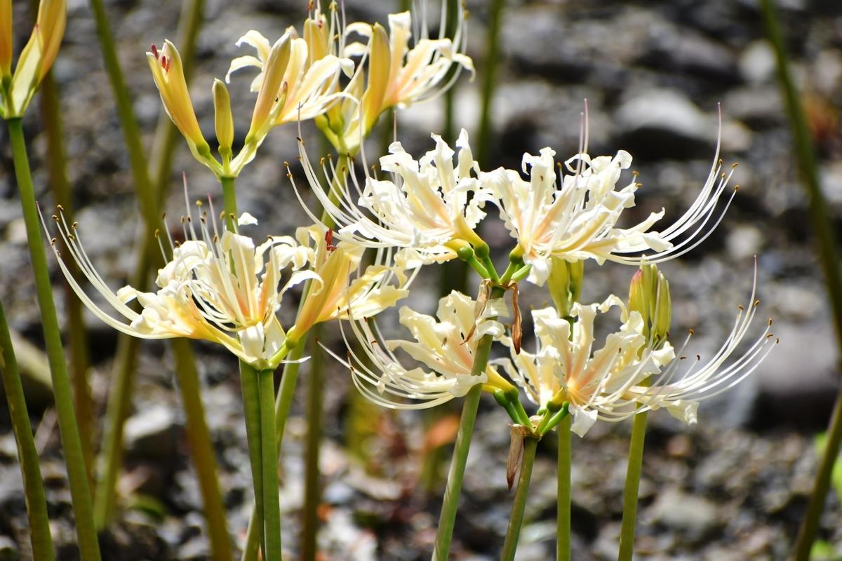 京都府立植物園 白花彼岸花 五分咲き 2020年9月19日 撮影:MKタクシー