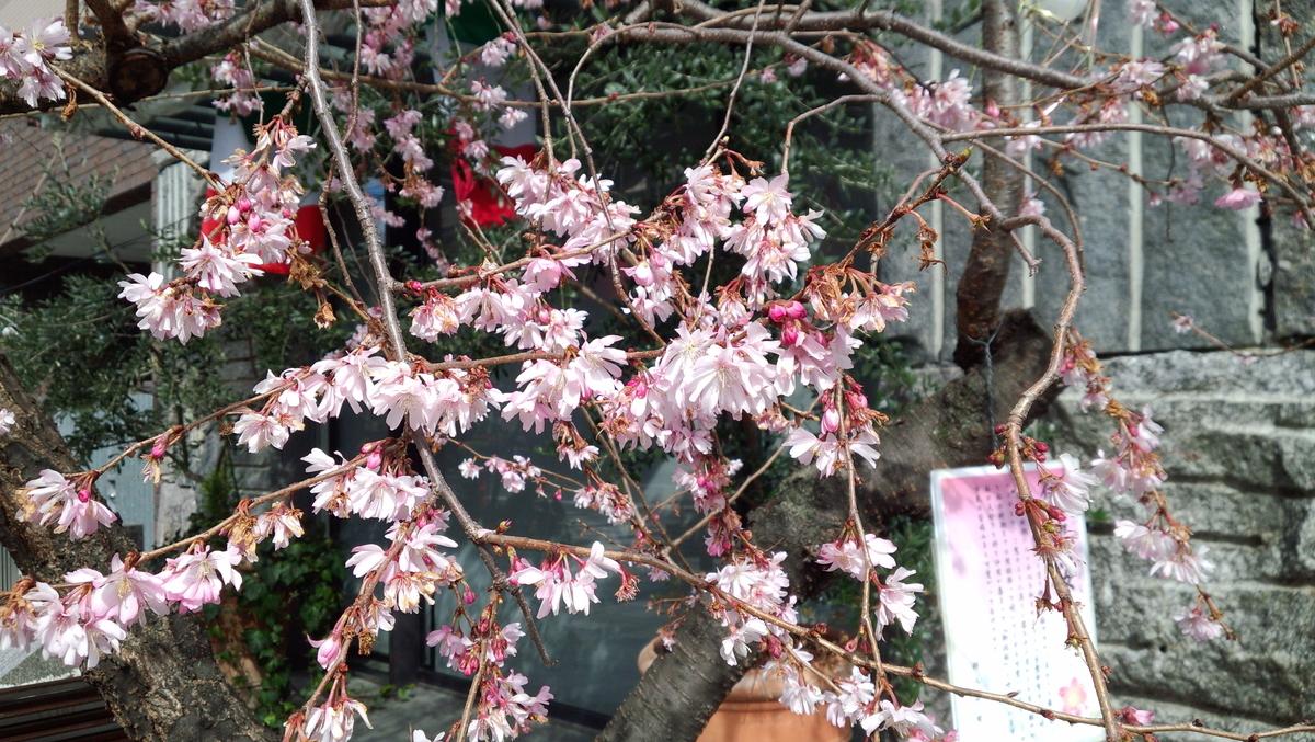 御池柳馬場 御池桜 2014年3月3日 撮影:MKタクシー