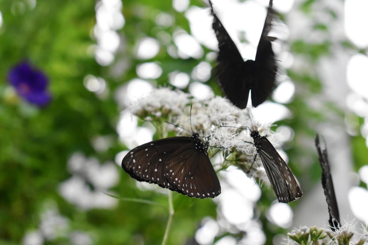 橿原市昆虫館 ツマムラサキマダラが飛び立つ瞬間 2020年10月11日 撮影:MKタクシー