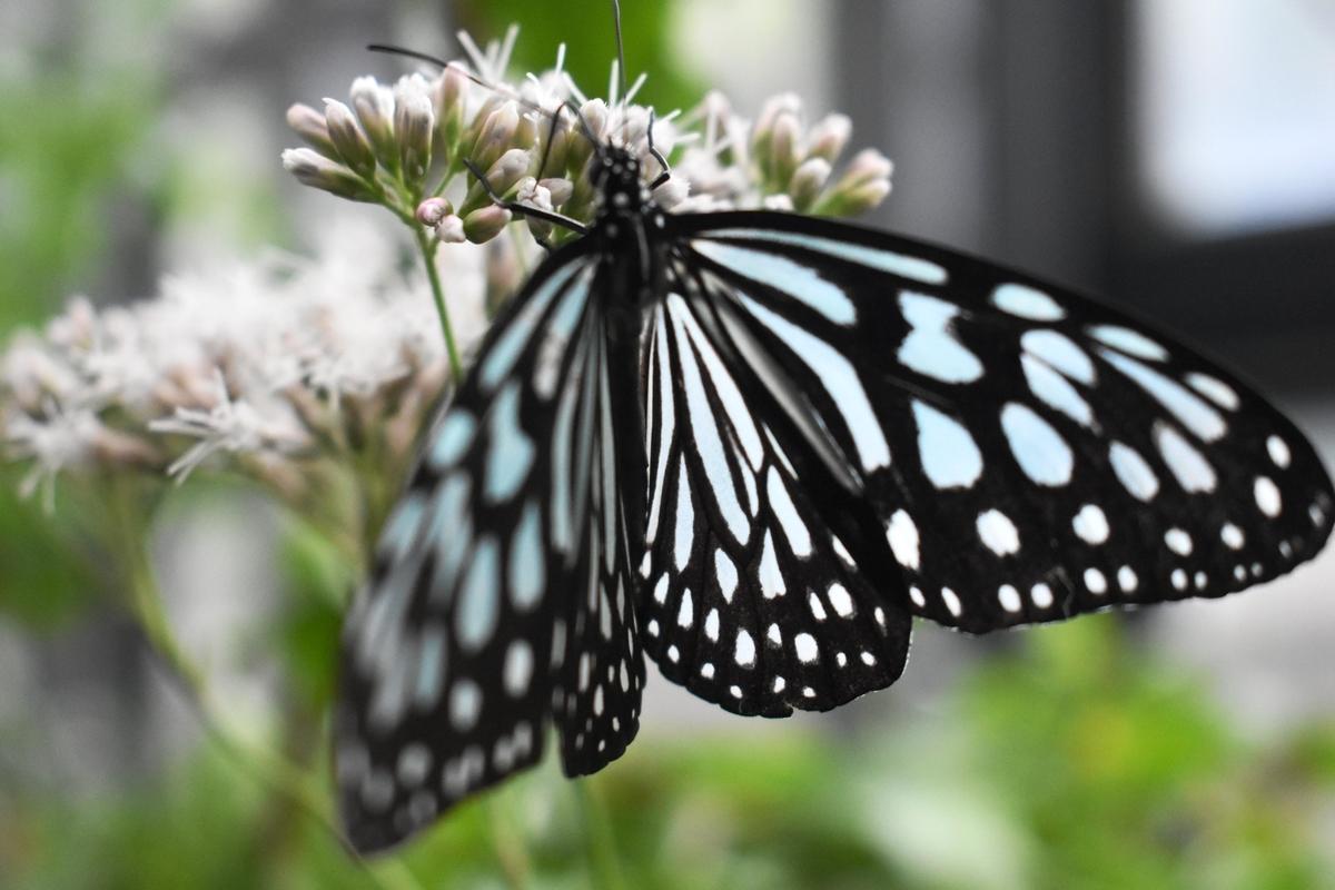 橿原市昆虫館 リュウキュウアサギマダラ 2020年10月11日 撮影:MKタクシー