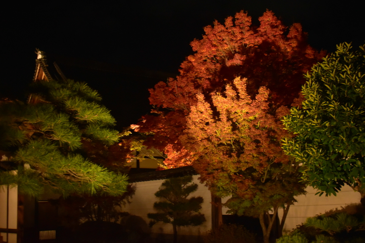 妙覚寺の紅葉ライトアップ 見頃 2019年11月20日 撮影:MKタクシー