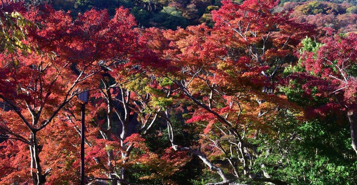 亀山公園の紅葉 見頃 2019年11月20日 撮影:MKタクシー