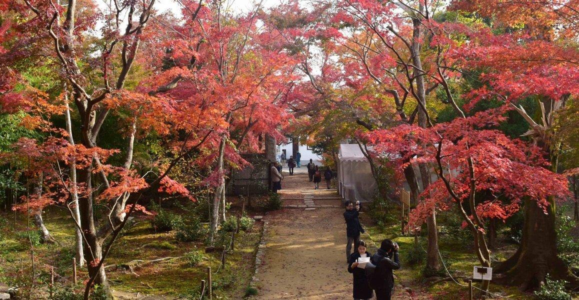 浄住寺の紅葉 見頃 2018年12月1日 撮影:MKタクシー