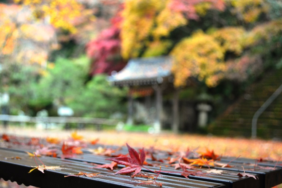 金蔵寺の紅葉 見頃 2017年11月18日 撮影:MKタクシー