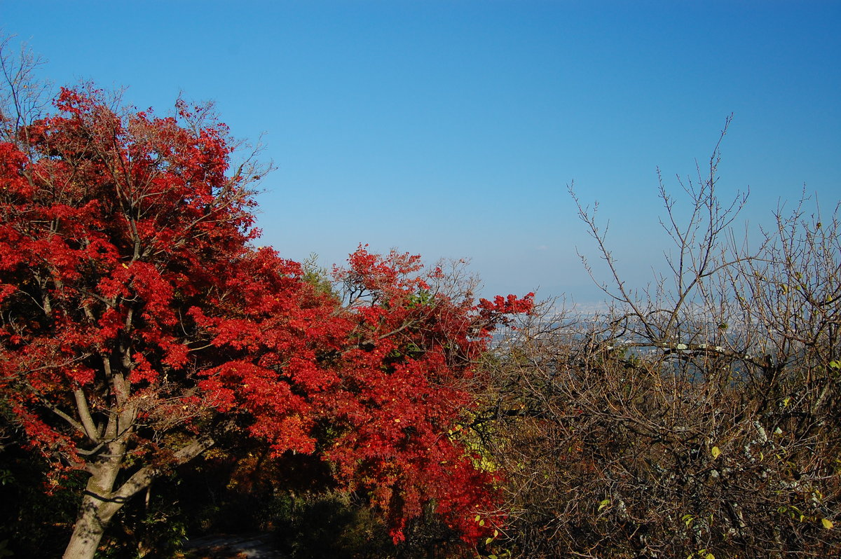 三鈷寺の紅葉 見頃 2007年11月25日 撮影:MKタクシー