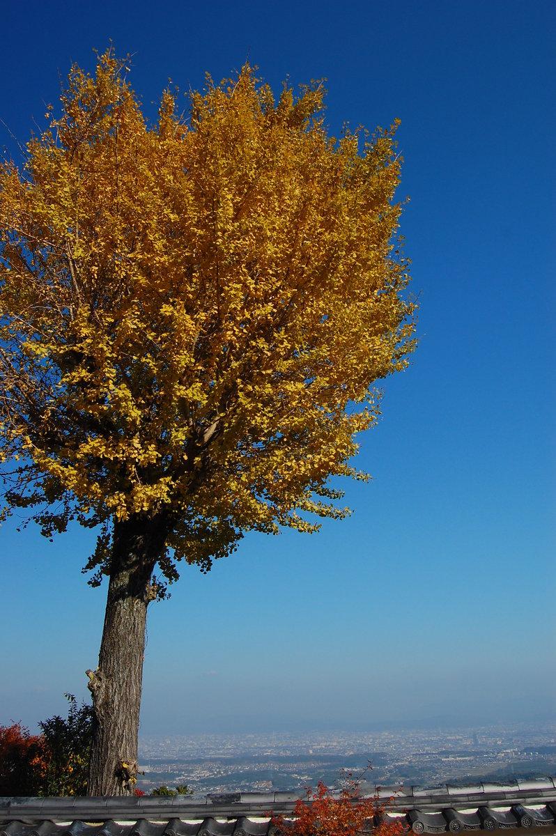 三鈷寺の黄葉 見頃 2007年11月25日 撮影:MKタクシー