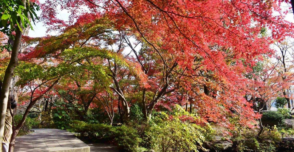 大山崎山荘美術館の紅葉 見頃 2018年12月1日 撮影:MKタクシー