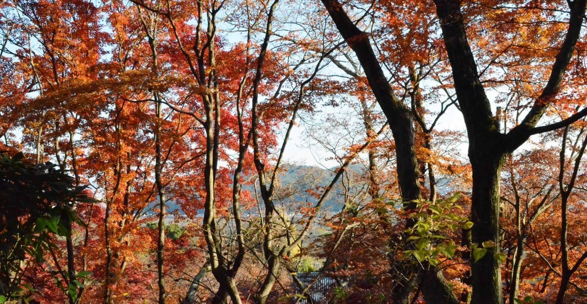 大山崎山荘美術館の紅葉 見頃 2017年12月3日 撮影:MKタクシー