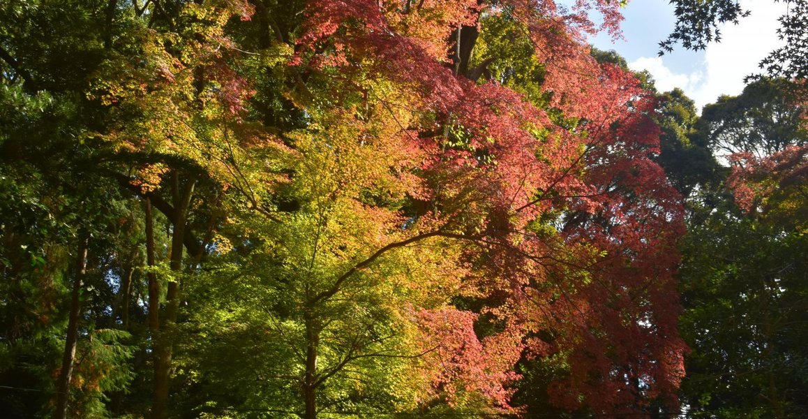 伏見稲荷大社・十石橋の紅葉 見頃近し 2019年11月15日 撮影:MKタクシー
