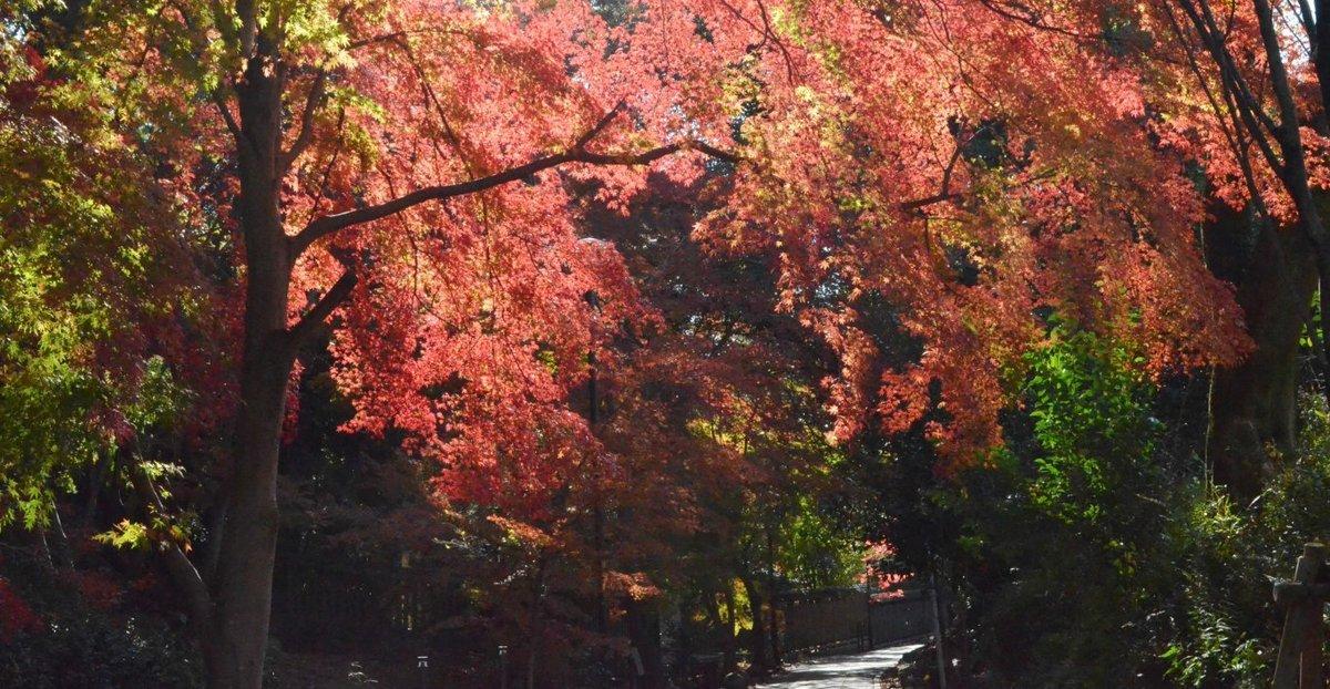 さわらびの道の紅葉 見頃 2017年12月2日 撮影:MKタクシー