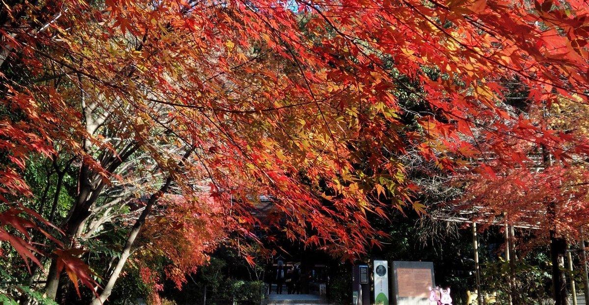 宇治上神社参道の紅葉 見頃 2016年12月11日 撮影:MKタクシー