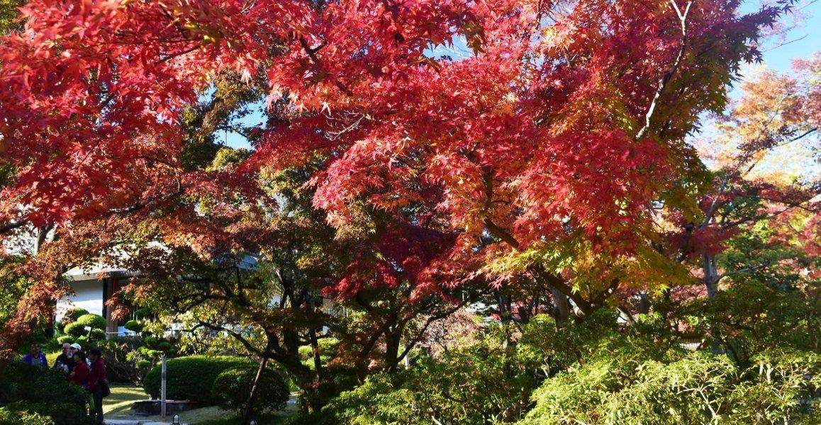 松花堂庭園・外園の紅葉 見頃 2019年11月23日 撮影:MKタクシー