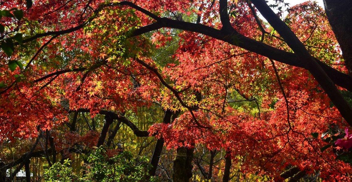 松花堂庭園・外園の紅葉 見頃 2019年12月1日 撮影:MKタクシー