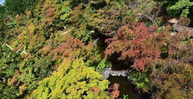 けいはんな記念公園の紅葉 色づきはじめ 2019年10月20日 撮影:MKタクシー