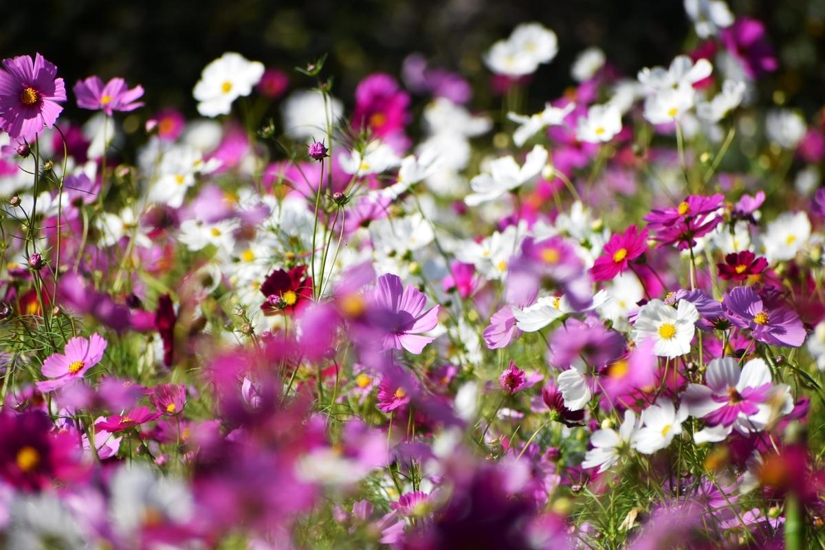 宇治市植物公園 コスモス 見頃 2020年10月15日 撮影:MKタクシー