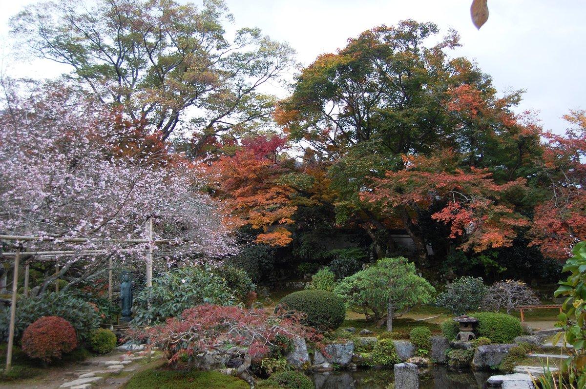 実光院・旧理覚院の不断桜と紅葉 見頃 2007年11月18日 撮影:MKタクシー