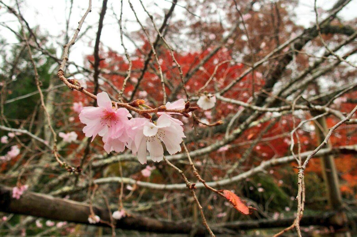 実光院・旧理覚院の不断桜と紅葉 見頃 2006年11月13日 撮影:MKタクシー