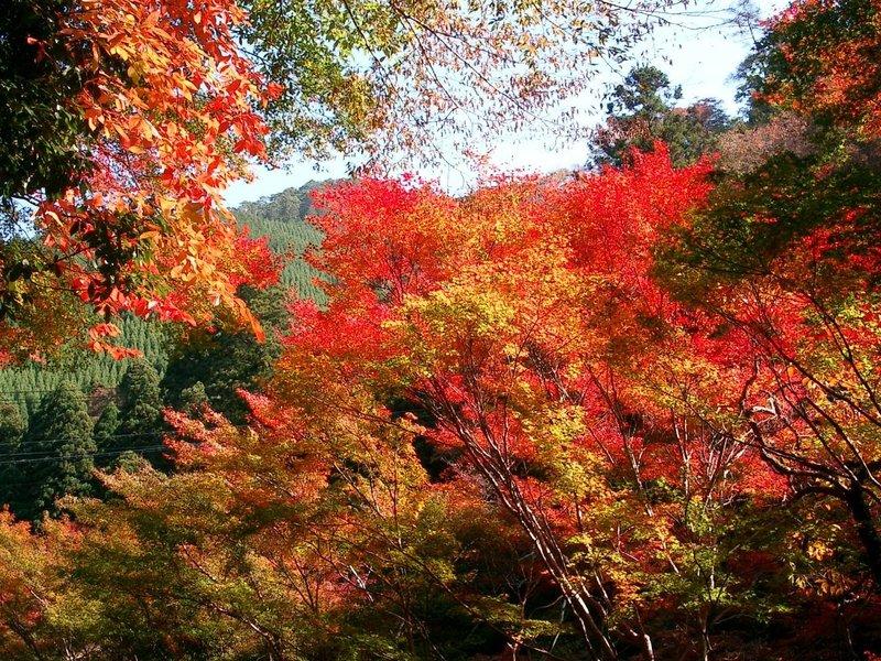 もみぢ橋の紅葉 見頃 2005年11月10日 撮影:MKタクシー