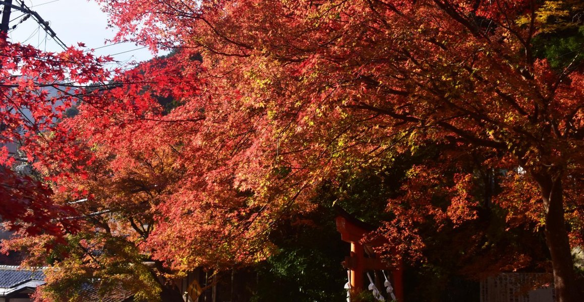 清滝・愛宕山登山口の紅葉 見頃 2019年11月24日 撮影:MKタクシー
